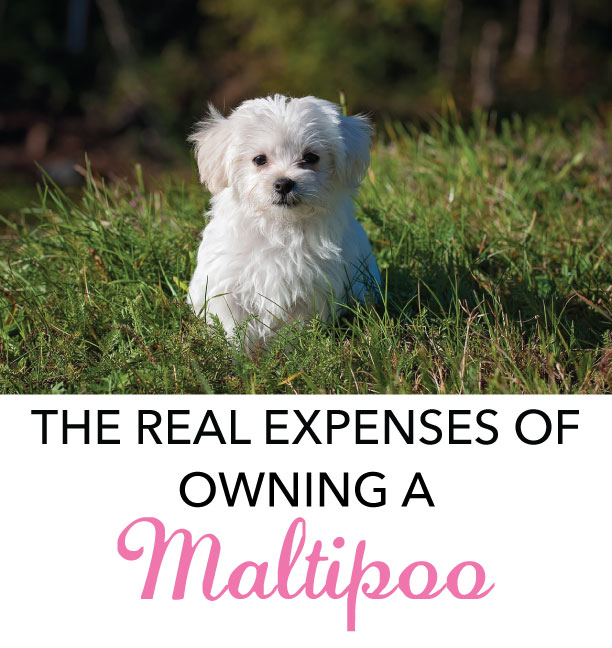 Maltipoo Average Price